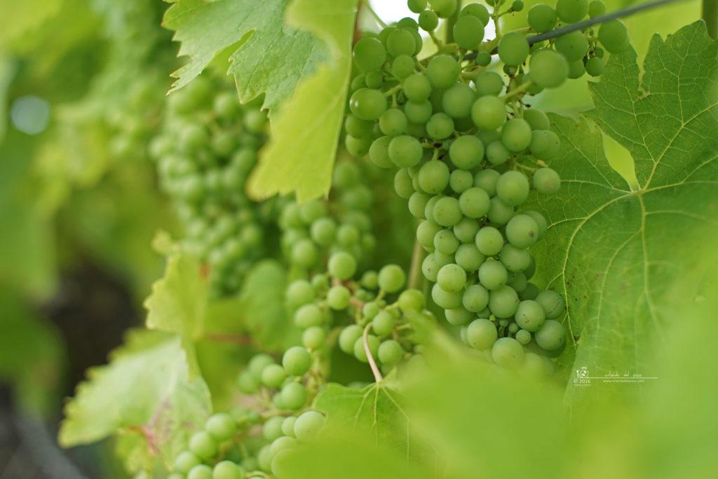 beautiful grapes