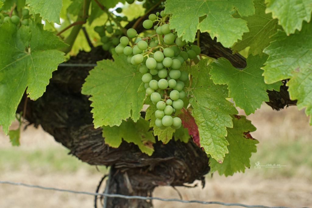 bert's grapes