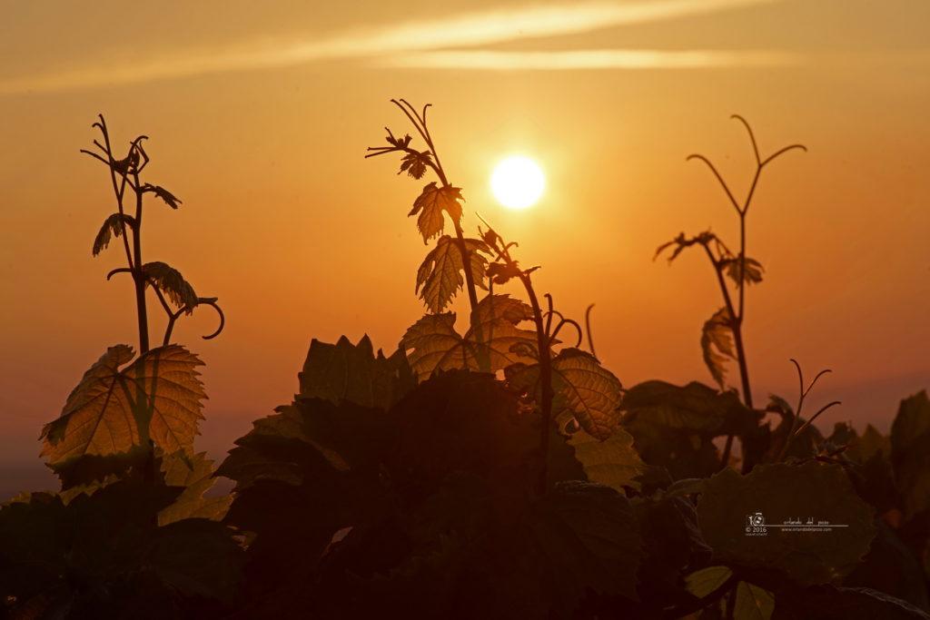 good morning vineyard