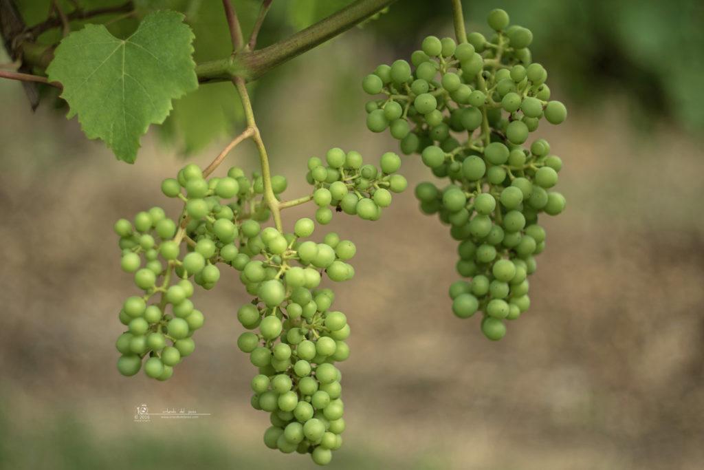 grapes/2407