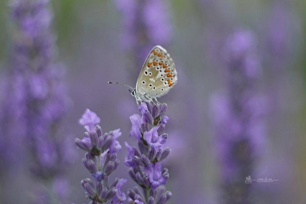 bläuling - common blue